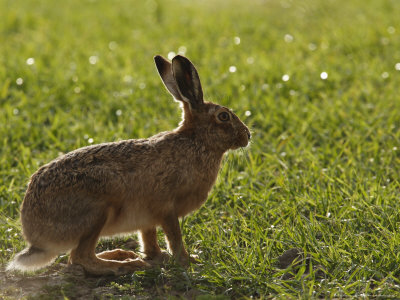 Brown Hare, Backlit Brown Hare in ...