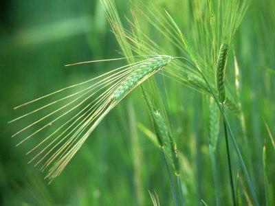 Barley in Summer, Scotland