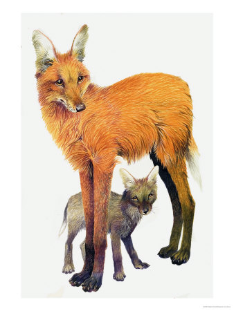 The Maned Wolf, Found in South America