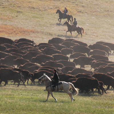 Buffalo Kick up Dust as Horseback Riders Keep Them Moving at the Custer State Park Buffalo Roundup