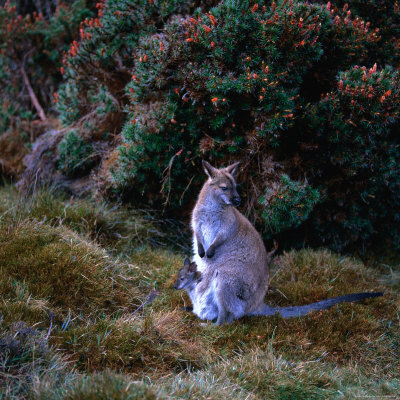 Buy Bennett's Wallaby with Joey, Cradle Mountain-Lake St. Clair National Park, Australia at AllPosters.com