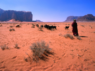 Bedouin Woman Herding Flock of Sheep and Goats Between, Wadi Rum National Reserve, Jordan