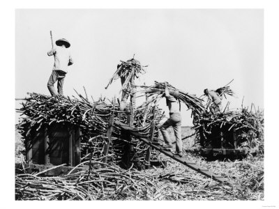 Sugar cane harvesting, Hawaii.