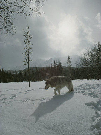Gray Wolf, Canis Lupus, Makes Tracks in Fresh Snowfall