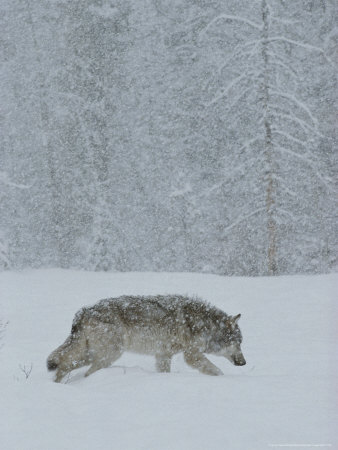 Gray Wolf, Canis Lupus, Walks Head Down Through a Snowy Landscape