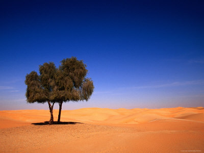 Lone Ghaf Tree Growing in the Sand of the Empty Quarter