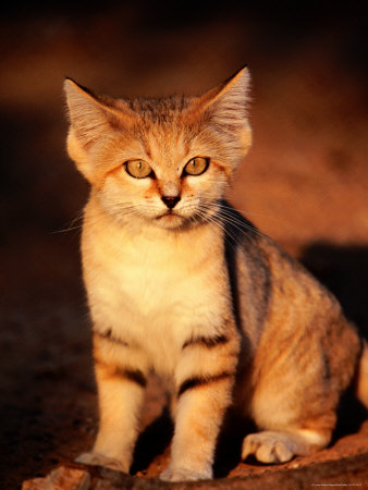 Sand Cat at the Breeding Centre for Endangered Arabian Wildlife