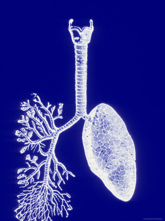 Lungs, White on Blue Background