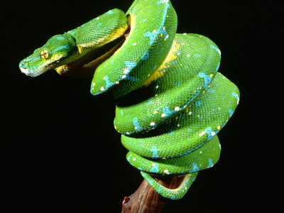 Green Tree Python, Native to New Guinea