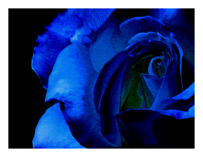 Blue Rose On Black Background