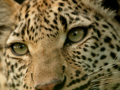 Buy Close-Up of the Face of a Leopard, Panthera Pardus, Mombo, Okavango Delta, Botswana at AllPosters.com