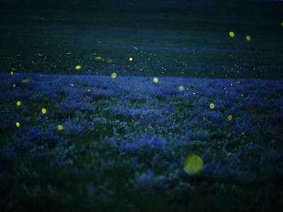 Lightning bugs and wild alfalfa blanket the prairie