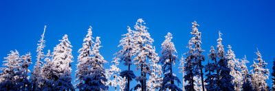 Oregon, Pine Trees, Winter