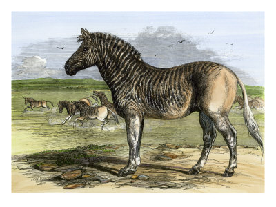 Quagga in the London Zoo, Now Extinct, 1850s