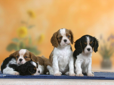 Domestic Dogs, Four Cavalier King Charles Spaniel Puppies, 7 Weeks Old, of Different Colours