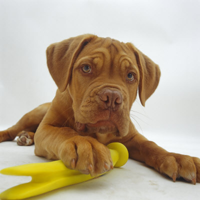 Dogue De Bordeaux Dog Puppy, 15 Weeks Old, Lying Down with Paw on Toy