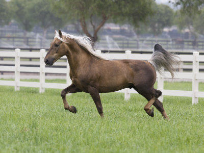 Palomino Morgan Stallion Trotting in Paddock, Ojai, California, USA