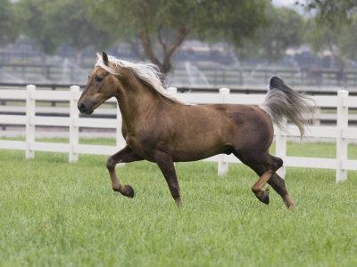 Palomino Morgan Stallion Trotting in Paddock, Ojai, California, USA