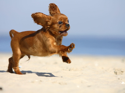 Cavalier King Charles Spaniel, Puppy, 14 Weeks, Ruby, Running on Beach, Jumping, Ears Flapping