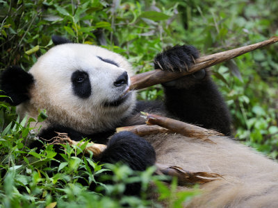 Giant Panda Feeding on Bamboo at Bifengxia Giant Panda Breeding and Conservation Center, China