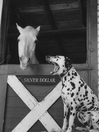 Dalmatian Stable Dog at Mystery Stables