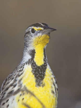 Eastern Meadowlark Head, Sturnella Magna, North America