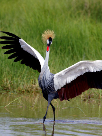 Grey Crowned Crane (Balearica Regulorum), Tanzania