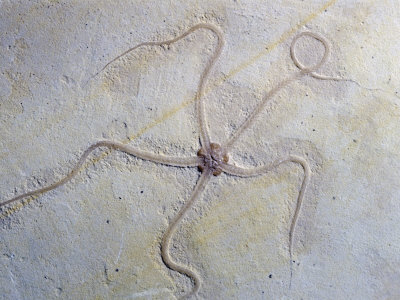 Fossil Brittle Star (Geocoma Carinata), Upper Jurassic Period, 152 M.Y.A., Germany