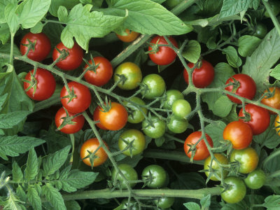 Cherry Tomatoes, 'super Sweet 100' ...