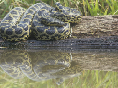 Yellow Anaconda (Eunectes Notaeus) ...