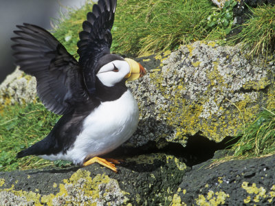Horned Puffin, Fratercula Corniculata, St. Paul Island, Pribilof Islands, Alaska, USA