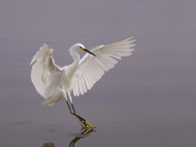 Snowy Egret Landing on Water, Egretta Thula, North America