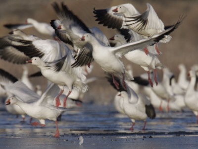Snow Geese Flock Taking Off, Chen Caerulescens, Bosque Del Apache, New Mexico, USA