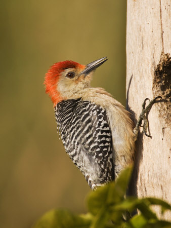 Red-Bellied Woodpecker at its Nest Hole, Melanerpes Carolinus, Southern USA