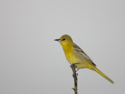 Female Hooded Oriole, Icterus Cucullatus, Texas, USA