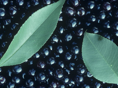 Black Cherry Harvest (Prunus Serotina), North America