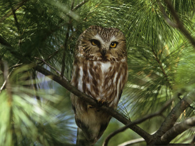Northern Saw-Whet Owl (Aegolius Acadius) in a White Pine (Pinus Strobus), North America