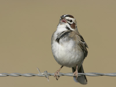 Lark Sparrow Singing, Chondestes Grammacus, Texas, USA