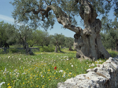 Olive Trees, Puglia, Italy, Europe