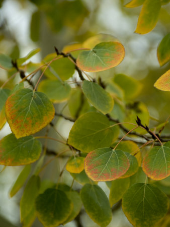 Aspen Leaves Turning Color, Vail, Colorado, USA