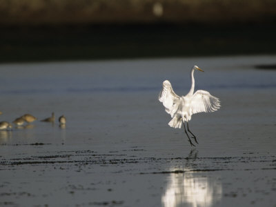 Great Egret with Outstretched Wings in Water Near Feeding Shorebirds