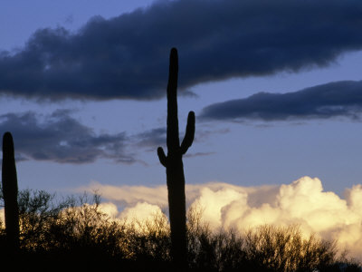 Two Saguaro Cactus (Carnegeia Gigantea) Stand in Twilight