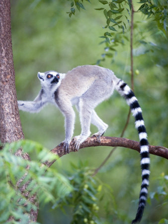 Ring-Tailed Lemur Climbing a Tree, Berenty, Madagascar