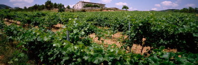 Vine Crop in a Field, Vilafranca Del Penedes, Catalonia, Spain