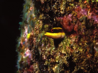 Wrasse Blenny in Coral Wall in the Sea