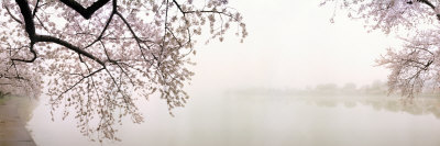Cherry Blossoms at the Lakeside, Washington DC, USA Photographic Print