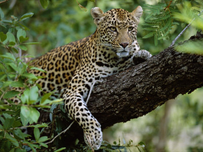 Female Leopard Rests in the Shade, Lying on the Branch of a Tree