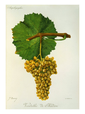Verdelho de Madere White Grape Variety from Ampelographie Traite General de Viticulture, 1903