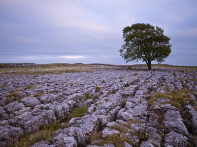 Lone Hawthorn Tree on Limestone Pavement Outside Malham, Yorkshire, England, United Kingdom, Europe