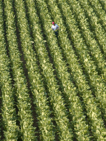 Farm Worker is Makes His Way across a Burley Tobacco Field Pulling Suckers from the Plants